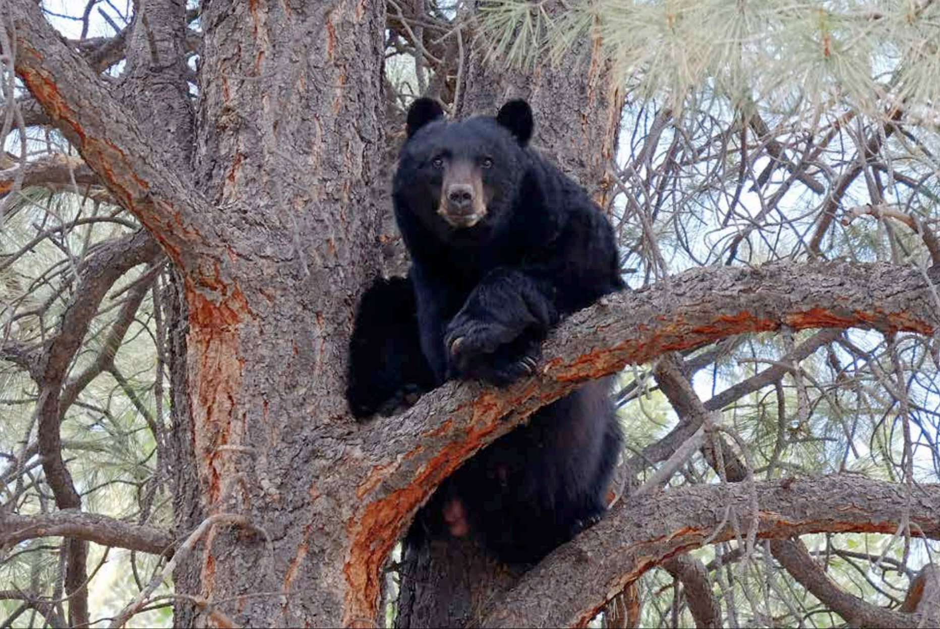 A neighborhood black bear hanging out in a ponderosa pine in the Baca.