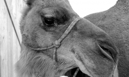 Homesteading with camels A recipe for success